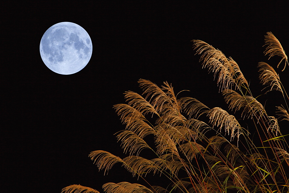 Japanese silver grass and full moon