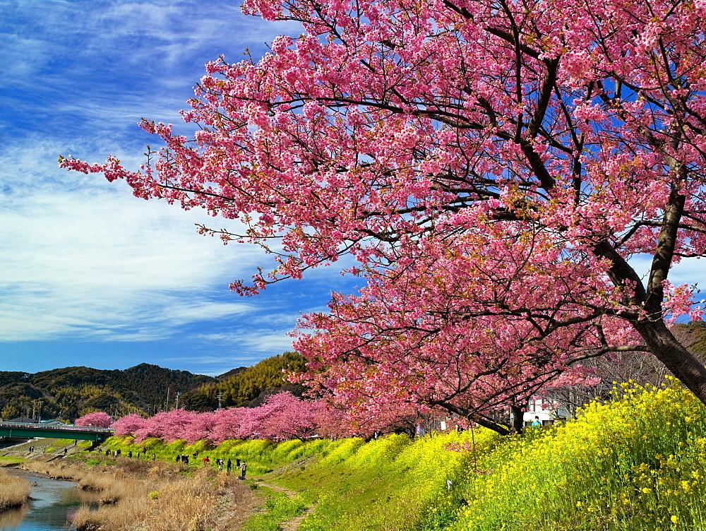 Cherry Blossoms Of Minami, Shizuoka, Japan