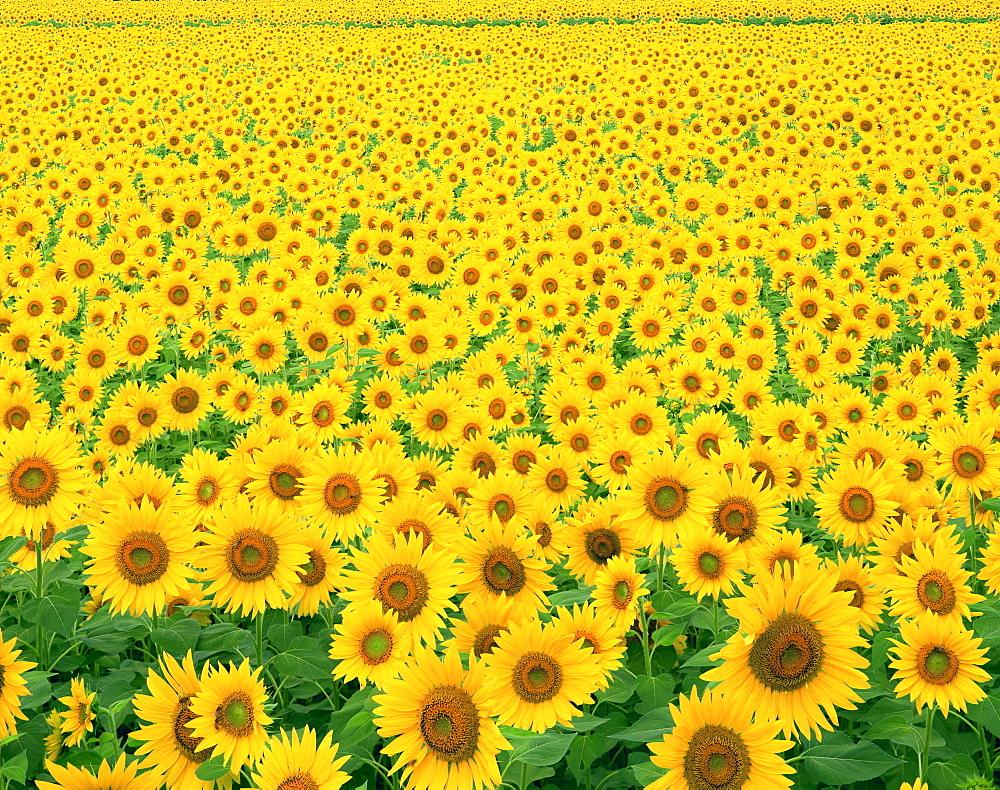 Sunflower, Nagano, Japan