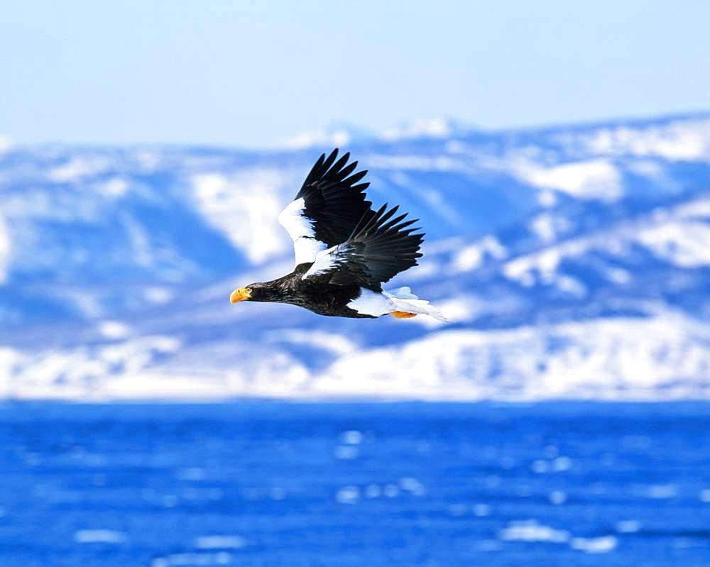 Stellar's sea eagle, Hokkaido, Japan