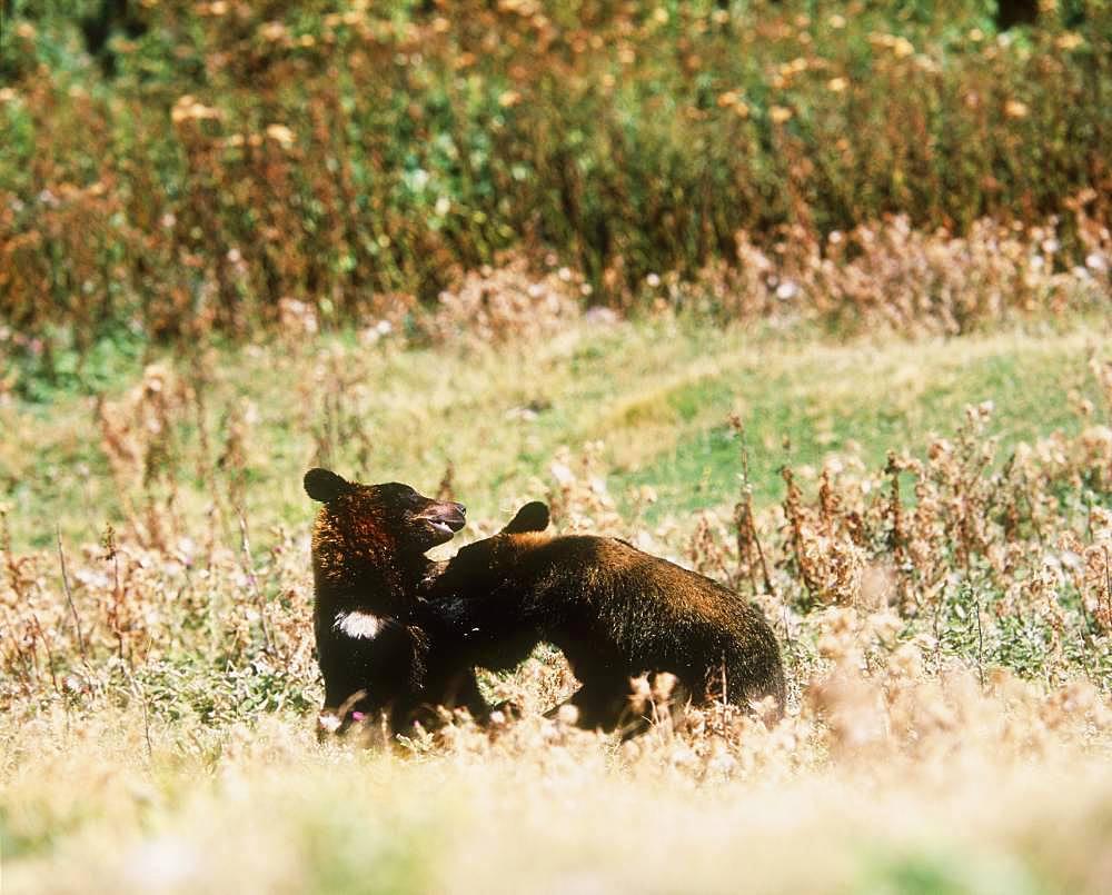 Brown Bear, Hokkaido, Japan