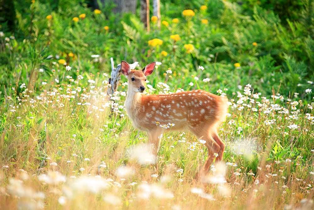 Bambi, Hokkaido, Japan