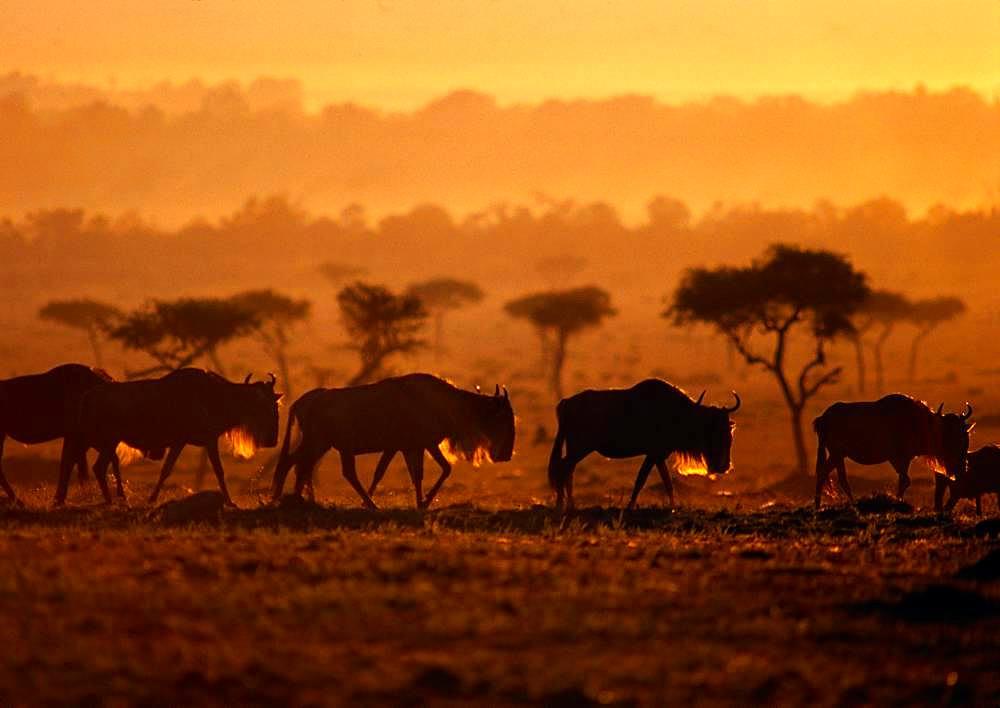 Wildebeest, Gnu, Kenya