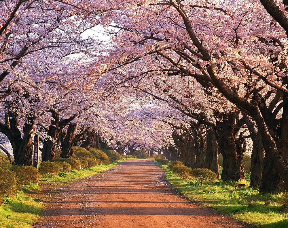Cherry Trees At Tenshochi, Iwate Prefecture
