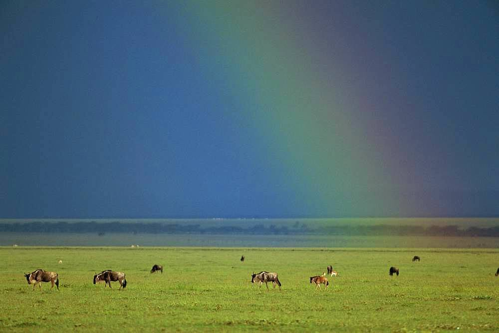 Gnu, Kenya