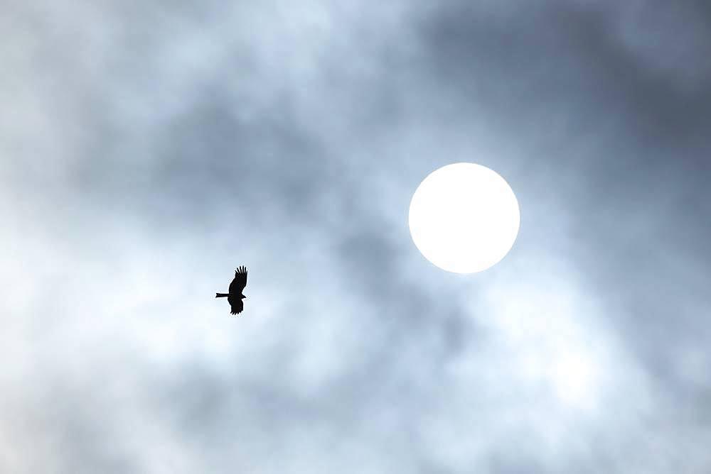 Black Kite, Hokkaido