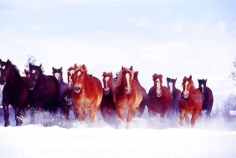 Movement, Hokkaido Horse, In Snow, Hokkaido