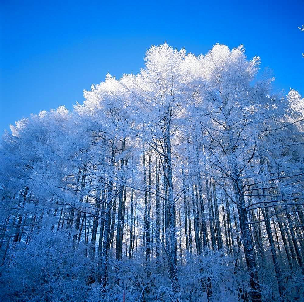 Silver Frost, Larch, Wood, Niigata Prefecture