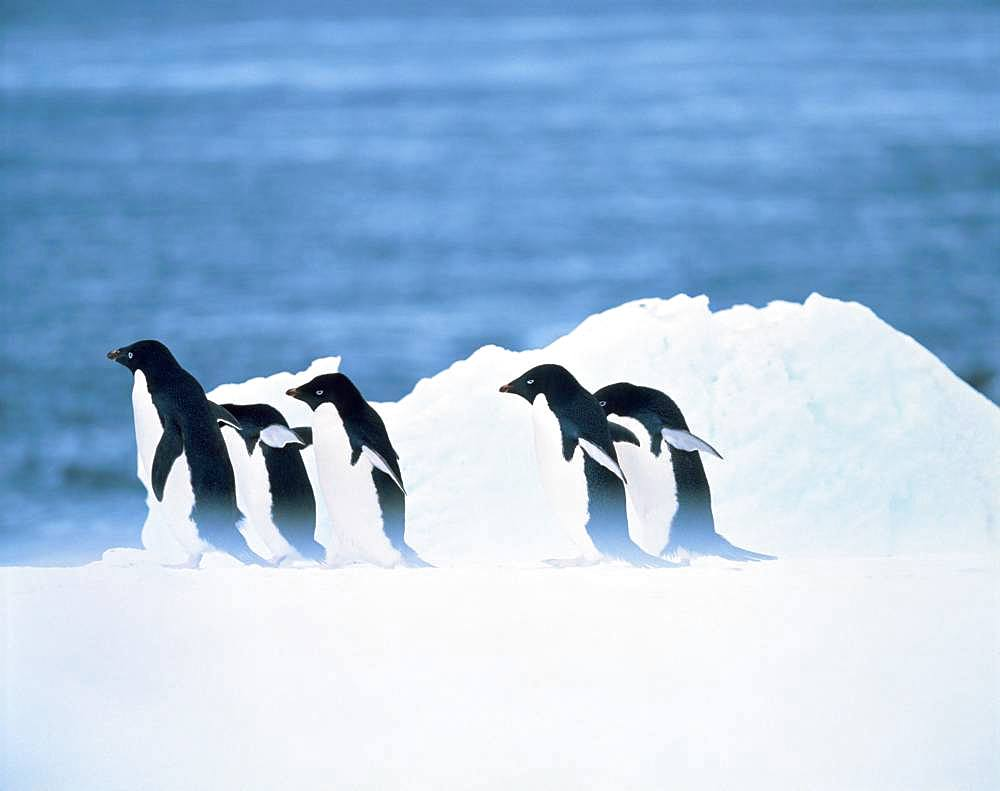 Adelie Penguin, South Pole