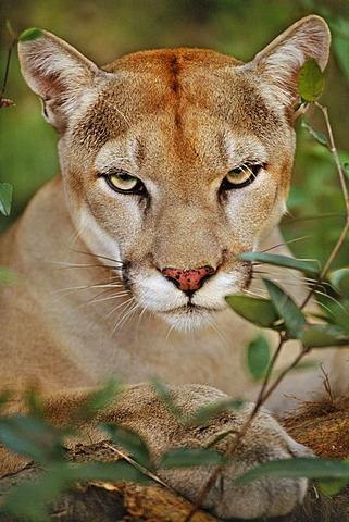 A Cougar, Puma concolor, head and shoulders. Belize.