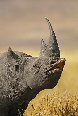 Black rhinoceros, Diceros bicornis, Ngorongoro Conservation Area, Tanzania