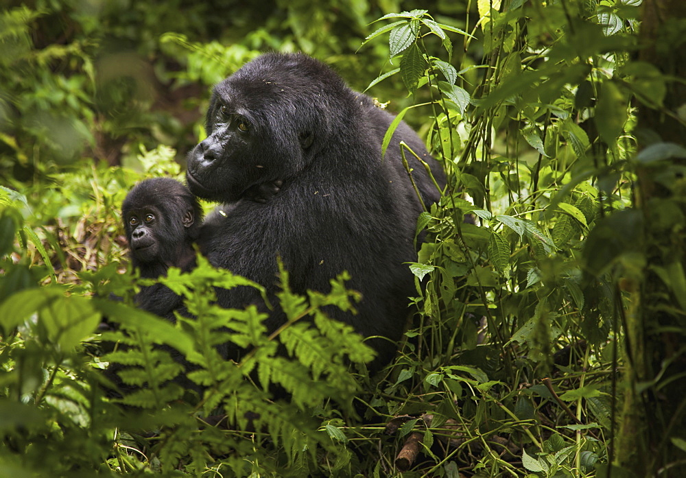 Mountain gorilla and juvenile, Volcanoes National Park, Rwanda, Volcanoes National Park, Rwanda