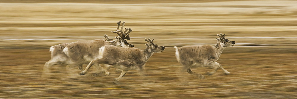 Four reindeer, Rangifer tarandus platyrhynchus, with antlers, galloping along a migration path, Svalbard, Norway