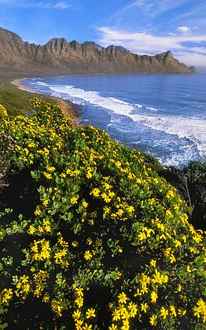 Coastline with flowering tickberry, Chrysanthemoides monilifera, near Cape Town, South Africa