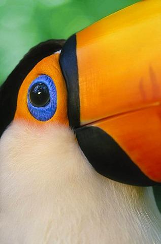Toco toucan face, Ramphastos toco, Pantanal, Brazil