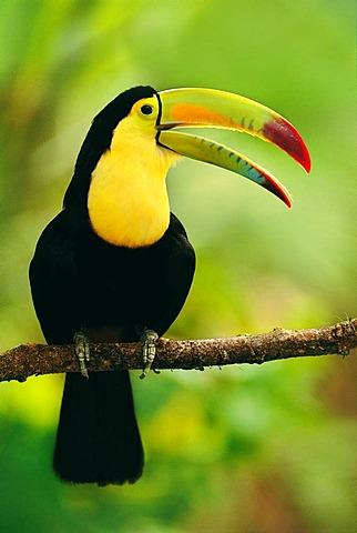 Keel-billed toucan, Ramphastos sulfuratus, Belize