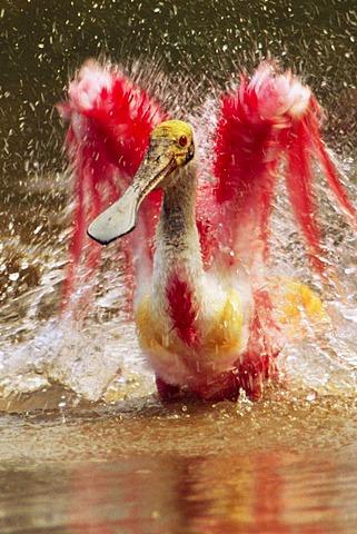 Roseate spoonbill bathing, Platalea ajaja, Pantanal, Brazil