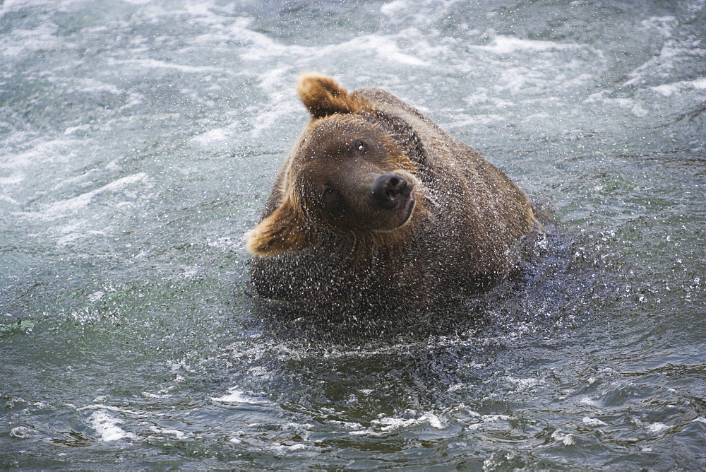 A brown bear shakes off excess water after fishing in Katmai National Park, Alaska, USAKatmai National Park, Alaska, USA