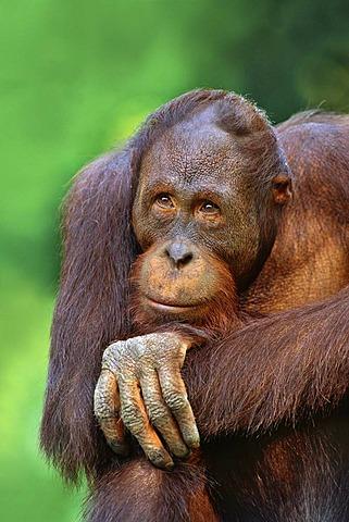 Adult orangutan, Pongo pygmaeus, Sepilok Reserve, Sabah, Borneo