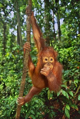 An Orangutan, Pongo pygmaeus, hanging from a vine, in Sepilok reserve, Sabah, Borneo