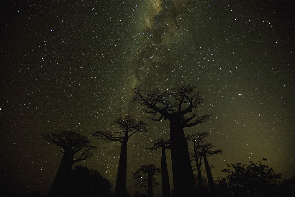 This thirty-second exposure captures Milky Way--it is a long enough exposure to record the light but short enough to limit blurring, Baobab Alley, Madagascar