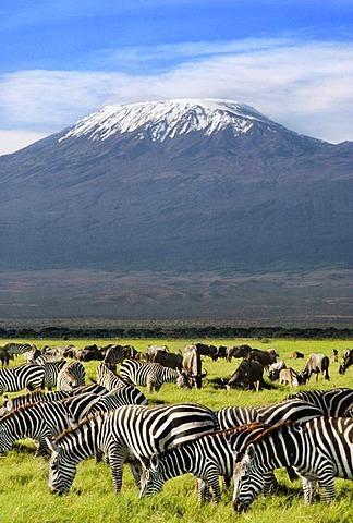 Zebras, Equus quagga, and black wildebeest, Connochaetes gnou, Mount Kilimanjaro, Kenya