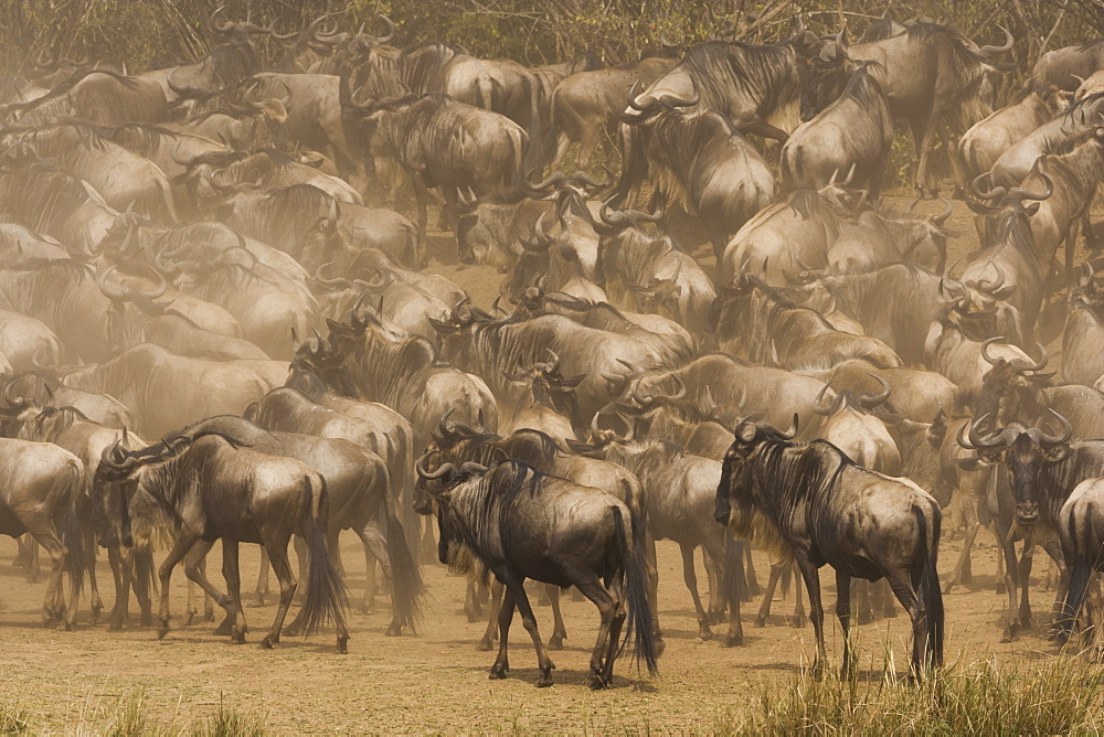 Wildebeests, Kenya, Kenya