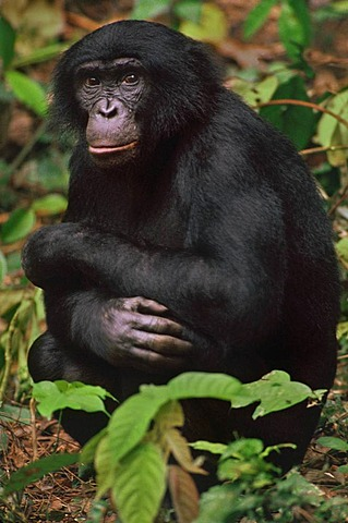 Bonobo male, Pan paniscus, Congo, DRC, Democratic Republic of the Congo