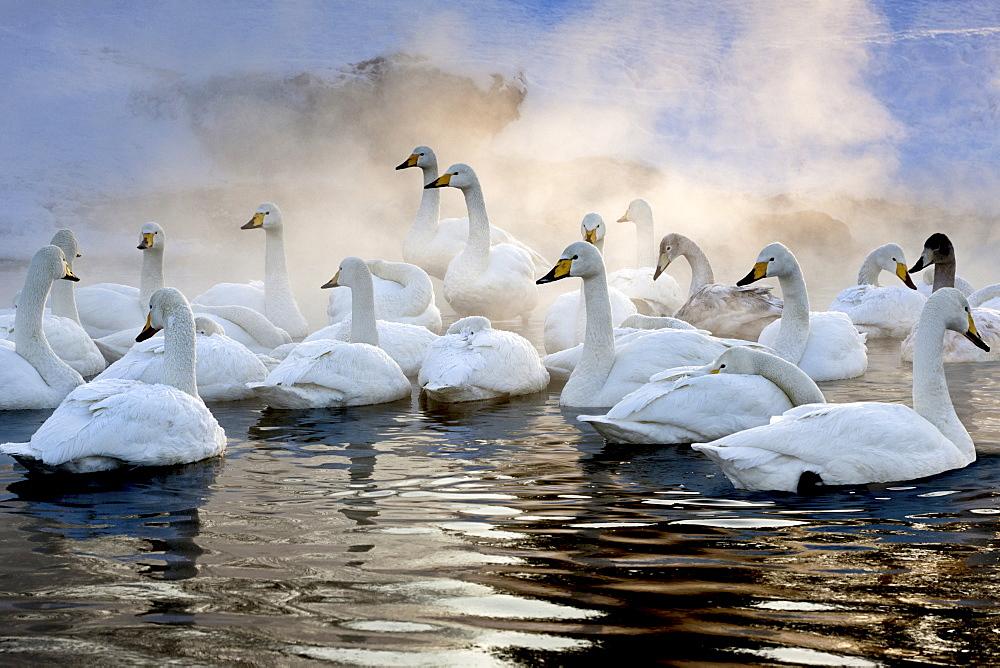 Whooper swans, Hokkaido, Japan, Hokkaido, Japan