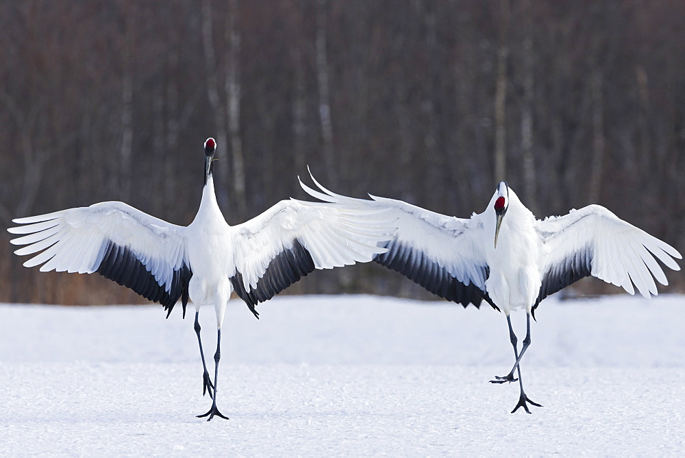 Japanese cranes upright, spreading their wings and preening on a frozen lake in Hokkaido, Japan, Hokkaido, Japan
