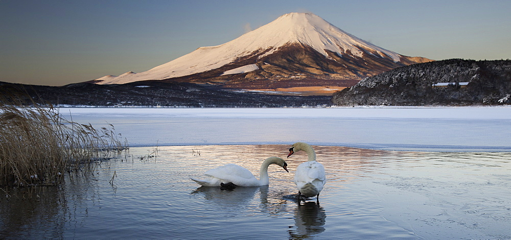 A pair of mute swans in Lake Kawaguchi disrupt the reflection of Mt. Fuji, Japan, Lake Kawakguchi, Japan