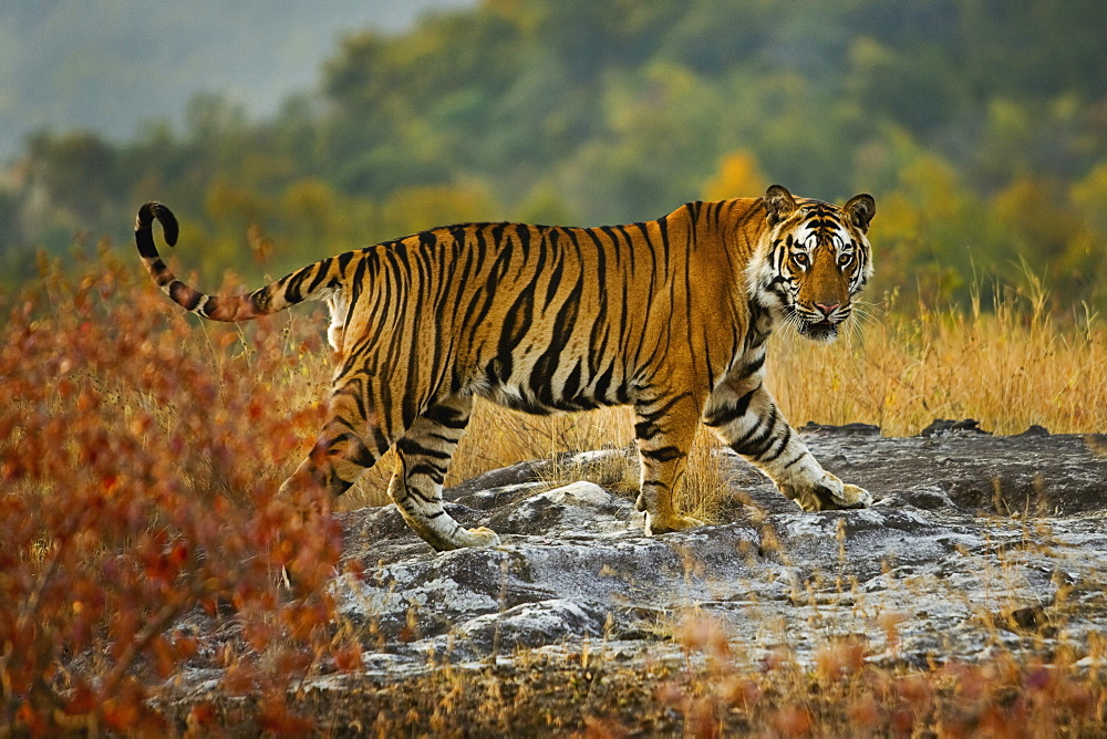 Tiger, Bandhavgarh National Park, Madhya Pradesh, India, Bandhavgarh National Park, Madhya Pradesh, India