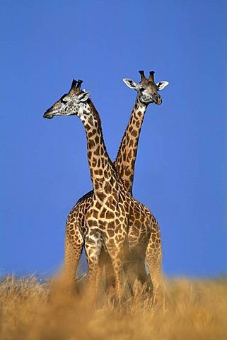 Giraffes, Giraffa camelopardalis thornicrofti, Luangwa Valley, Zambia