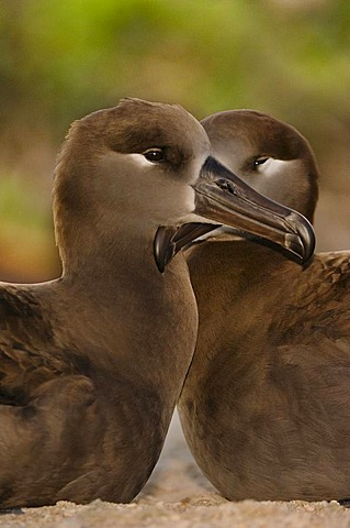 Black-footed albatross pair, Phoebastria nigripes, Tern Island, Hawaiian Leeward Islands
