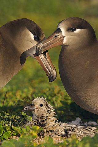 Black-footed albatross couple and chick, Phoebastria nigripes, Tern Island, Hawaiian Leeward Islands