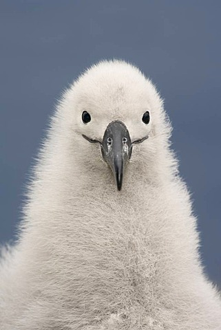 Black-browed albatross chick, Thalassarche melanophrys, Campbell Island, New Zealand