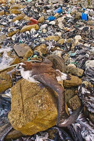 Stranded laysan albatross surrounded by garbage, Phoebastria immutabilis, Midway Atoll, Hawaiian Leeward Islands