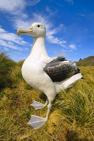 Male southern royal albatross, Diomedea epomophora, Campbell Island, New Zealand
