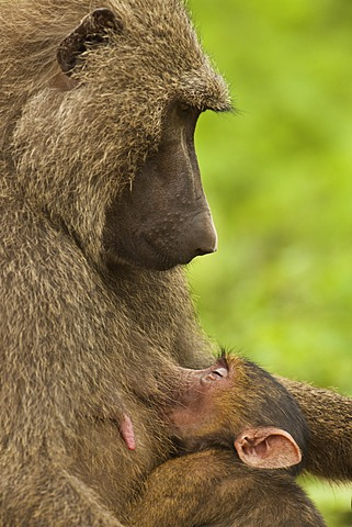 Baboon female with an infant suckling, Papio cynocephalus, Mole National Park, Ghana, Mole National Park, Ghana