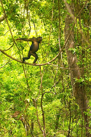 Chimpanzee female in tree walking upright along liana, Pan troglodytes verus, Fongoli, Senegal