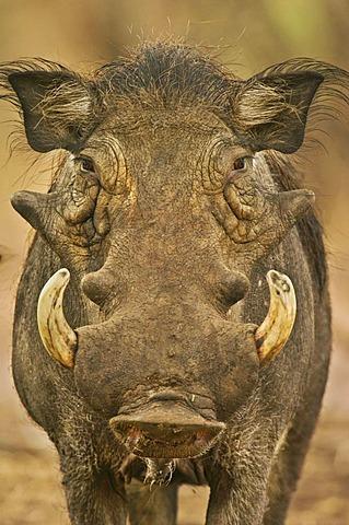 Warthog male, Phacochoerus africanus, Bandia Reserve, Senegal