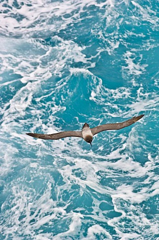 Light-mantled sooty albatross in flight, Phoebetria palpebrata, Auckland Islands, New Zealand