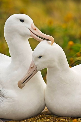 Southern royal albatrosses courting, Diomedea epomophora, Campbell Island, New Zealand