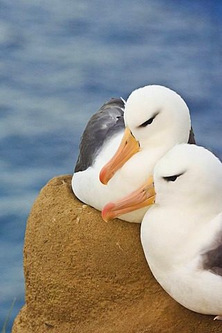 Black-browed albatross couple at their nest, Thalassarche melanophrys, Saunders Island, Falkland Islands