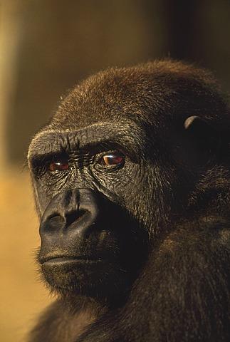 Lowland gorilla, Gorilla gorilla, Native to Congo (DRC), Congo