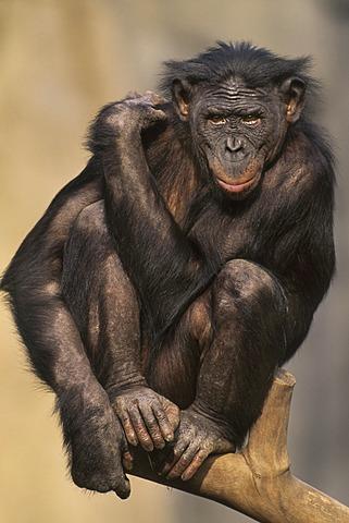 Bonobo, Pan paniscus, Native to Congo (DRC), Congo
