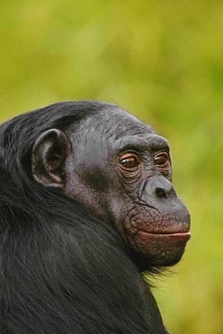 Adult male bonobo, Pan paniscus, native to Congo, DRC, Democratic Republic of the Congo