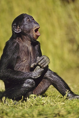 Bonobo juvenile laughing, Pan paniscus, Native to Congo (DRC), Congo