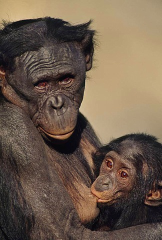 Bonobo mother with infant breast feeding, Pan paniscus, Native to Congo, DRC, Democratic Republic of the Congo