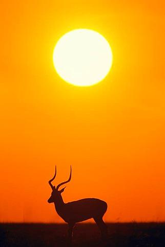 Impala buck at sunset, Aepyceros melampus, Masai Mara Reserve, Kenya